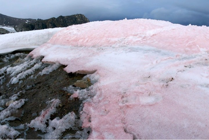 Snow Alage Pink Snow